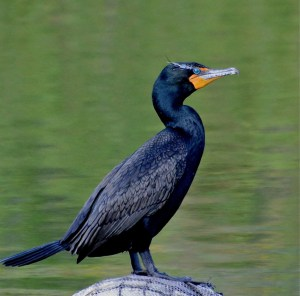 Double Crested Cormorant Photo by susanks From ibc.lynxeds.com