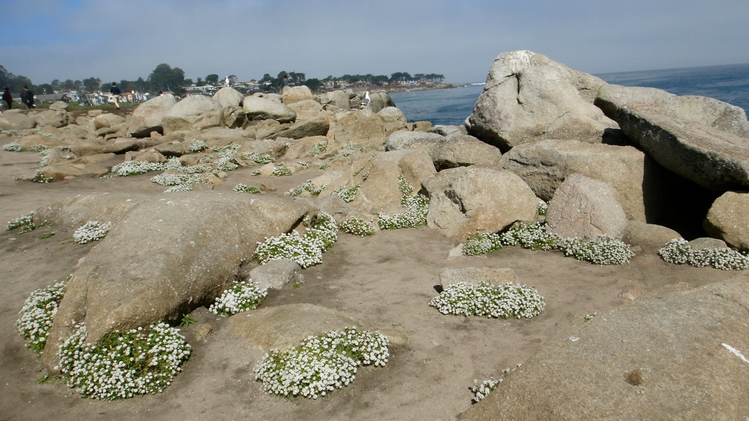 Sweet Alyssum growing among the rocks at Lover's Point Park, Pacific Grove, California