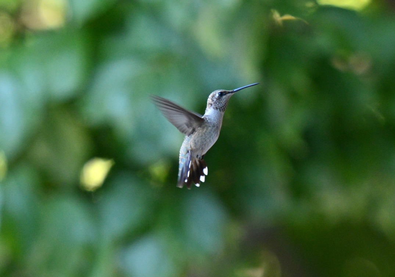 Hummingbird_DSC_8011