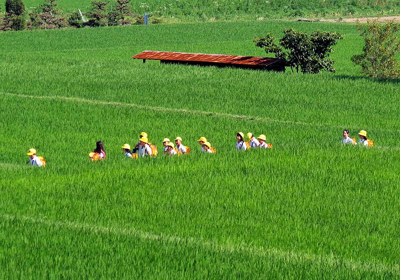 Japanese school children walking through rice fields
