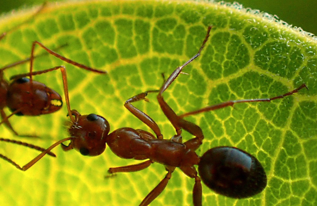 Ants busy communicating while on Milkweed leaf.  Photo by Thomas Peace 2014