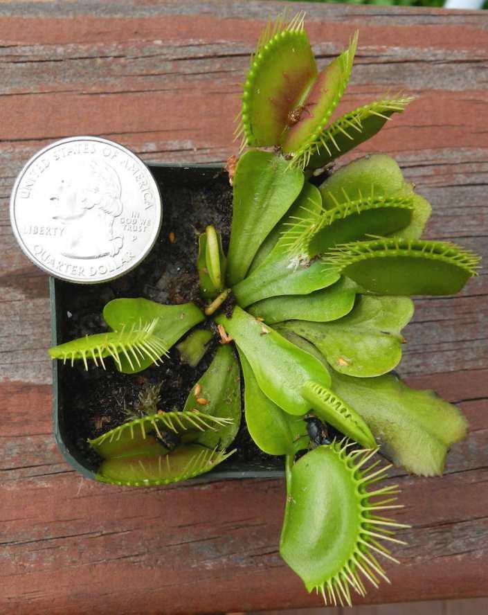 VFT 'mankey-leaf' 8-26-14