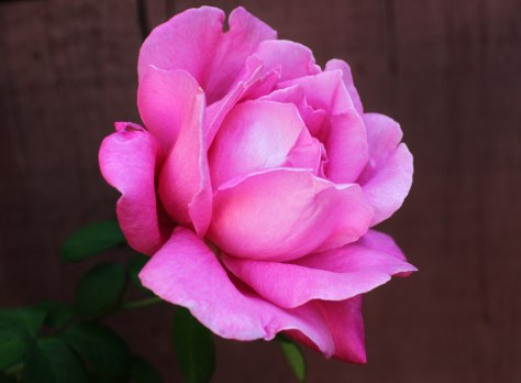 11-1-12-rose-jpeg