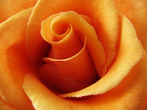 11-21-12-rose-jpeg