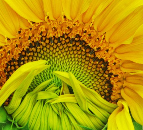 7-22-12-sunflower-jpeg