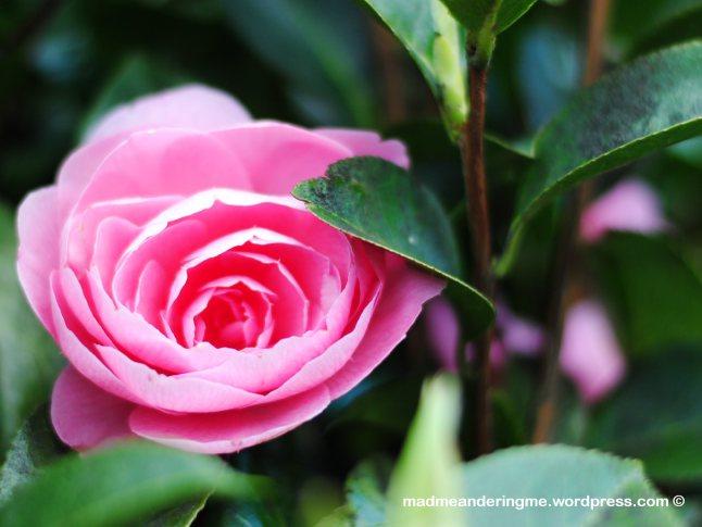 shy-pink-rose