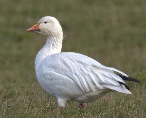 snow goose white morph