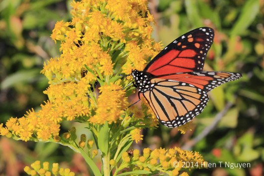 Monarch butterfly on goldenrod flowers