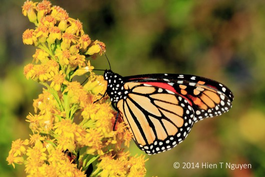 Monarch feasting on goldenrods