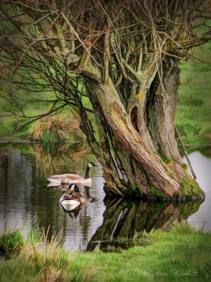 Two Canada geese on small pond