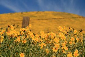 Flower Field, California